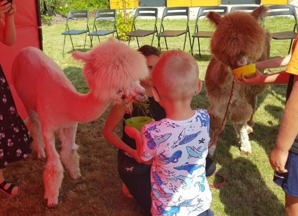 Dzieci karmią alpaki