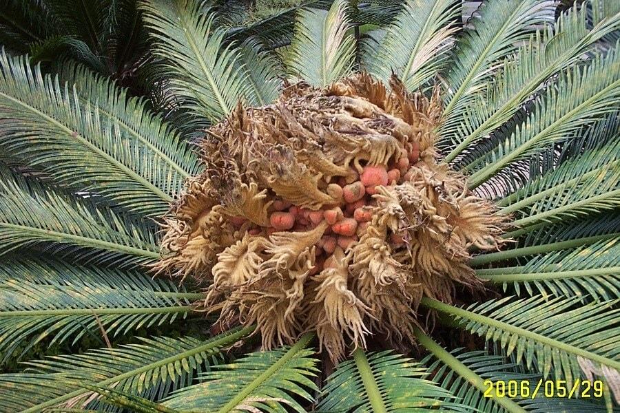 Owoc palmy brazylijskiej, fot.Zbigniew T. Pągowski